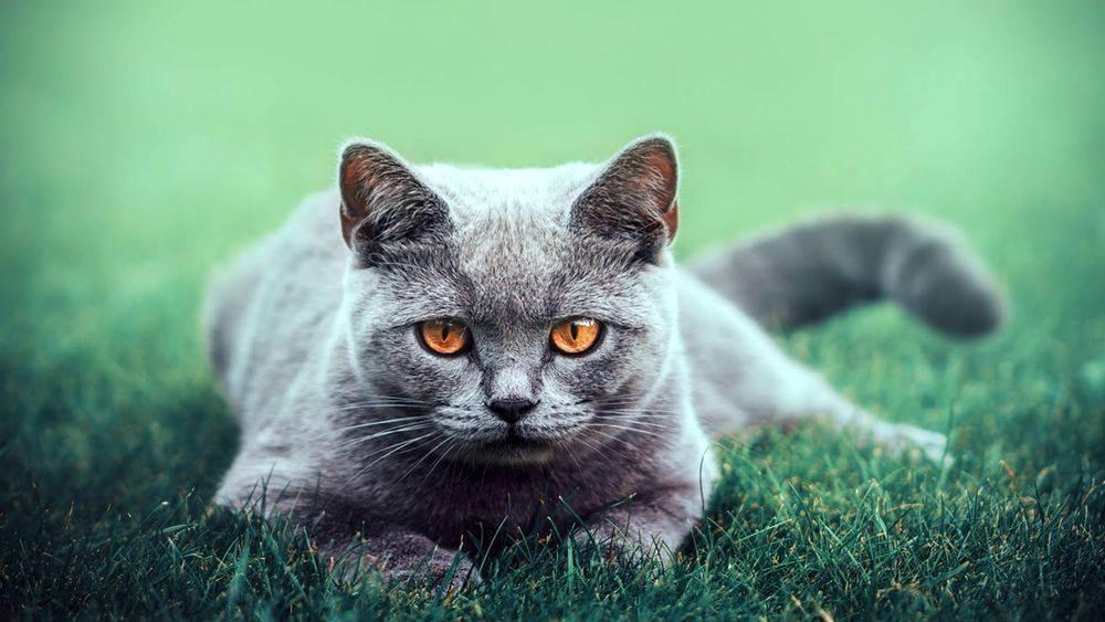 Беременность британской кошки: длительность, признаки и особенности