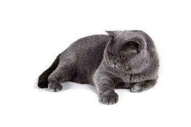 Сколько живут британские кошки в домашних условиях: факторы влияющие на продолжительность жизни кошки