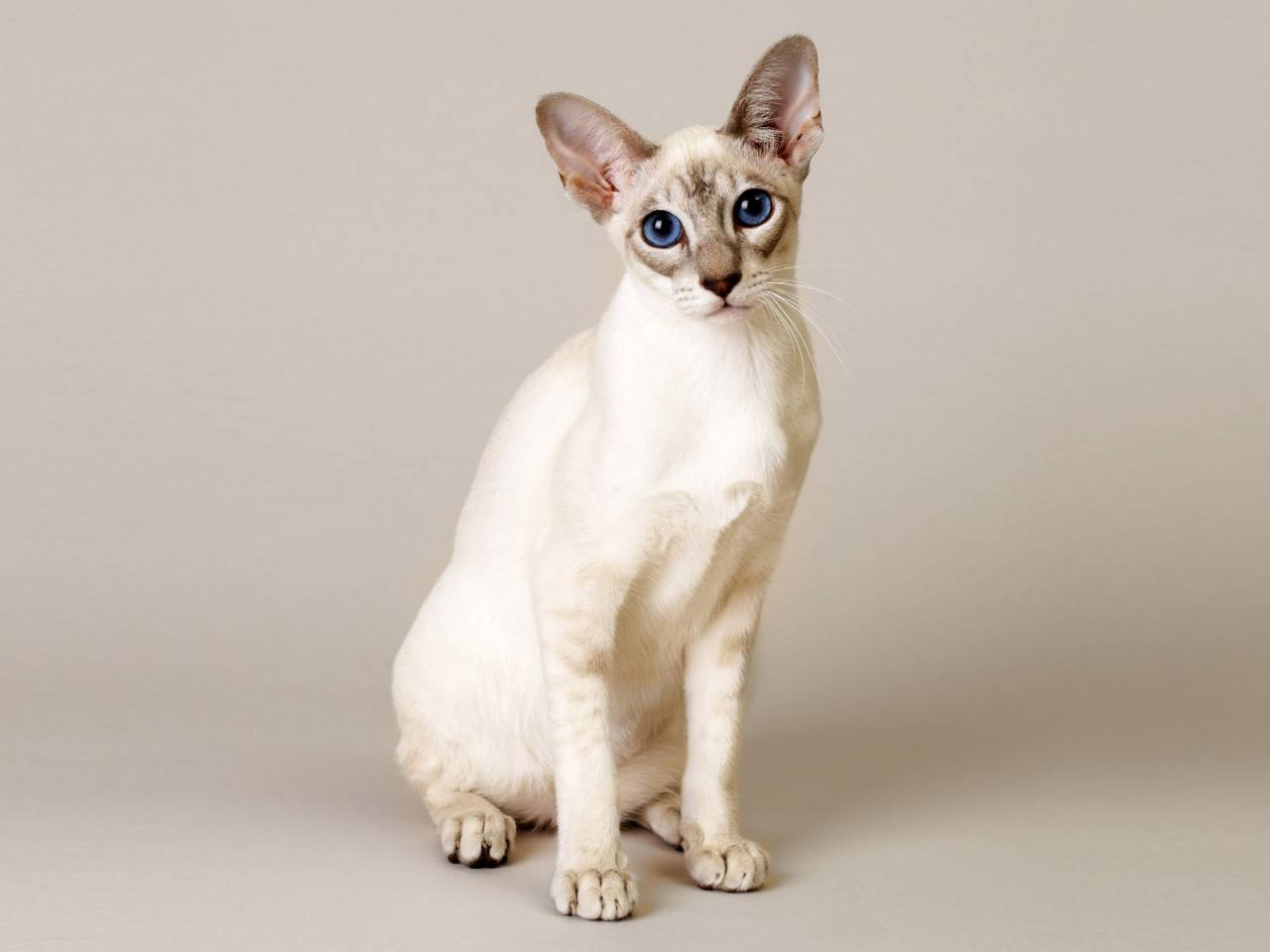 Какие породы кошек считаются самыми гипоаллергенными?