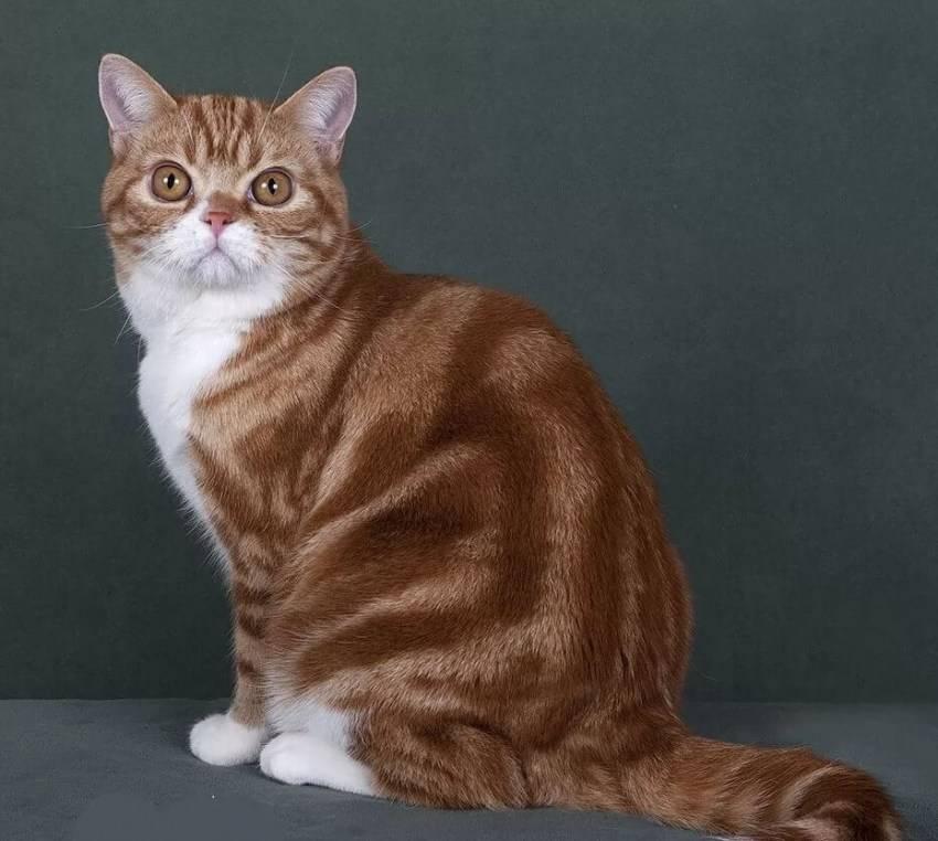 Как называется порода полосатых кошек окраса табби?