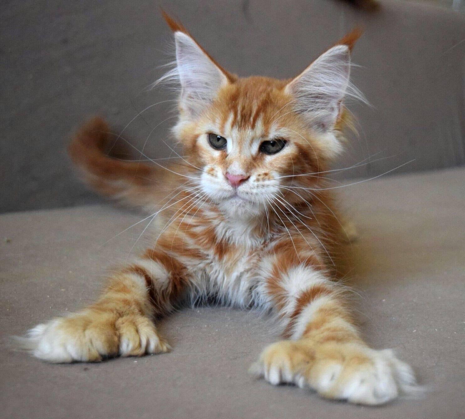 Полидактильная кошка мейн-кун: что это значит?