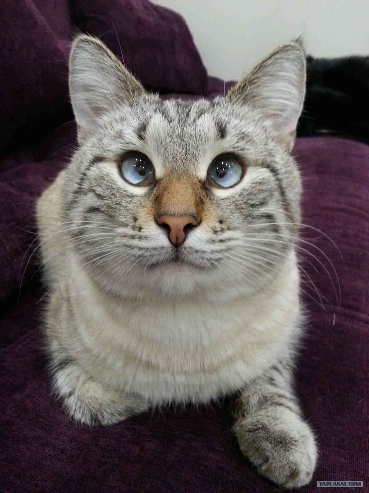 ᐉ косоглазые коты: породы, почему так бывает, знаменитые, 35 фото - zoogradspb.ru
