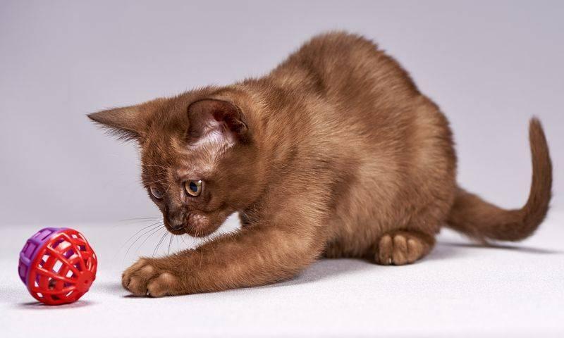 Трехцветная кошка. особенности, приметы и характер трехцветных кошек