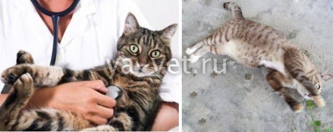 Судороги у кошек: виды и чем они опасны