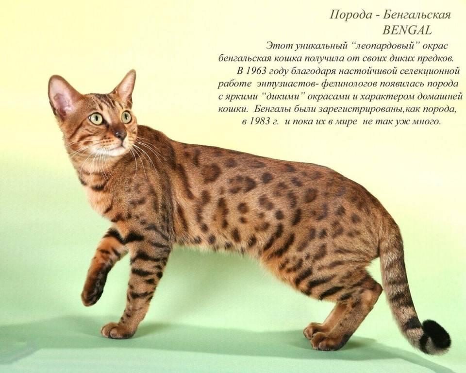 Характер кошек и котов бенгальской домашней породы