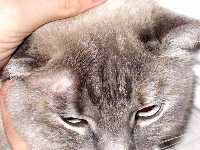 Стригущий лишай у кошек — основные признаки, важные симптомы и варианты лечения (видео + 95 фото)