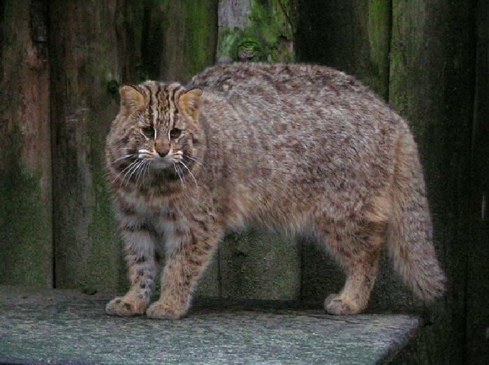 Дальневосточный кот: дикий амурский красавец