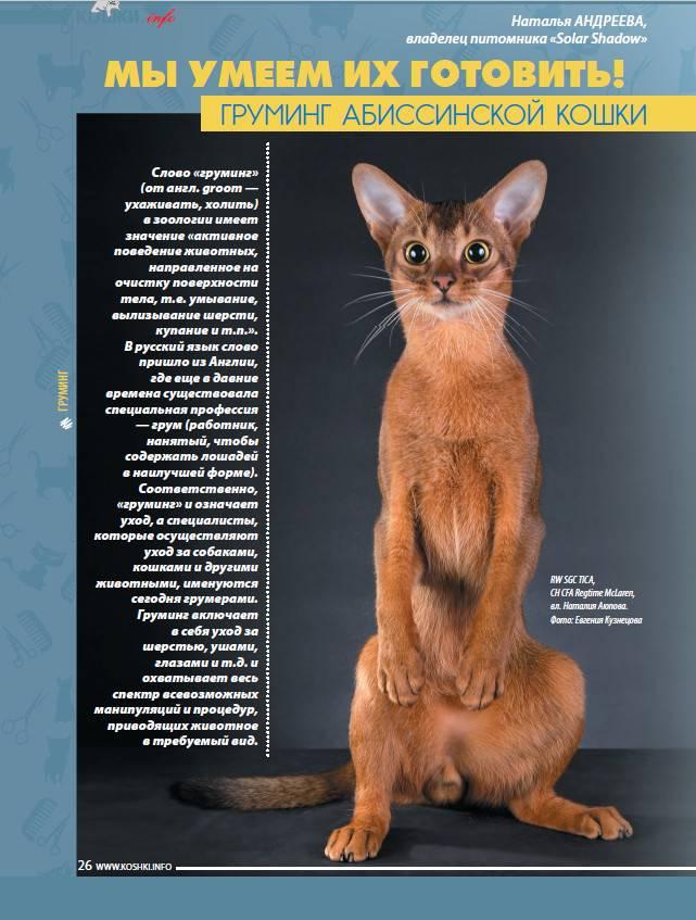 Абиссинская кошка – грация пумы и преданность собаки