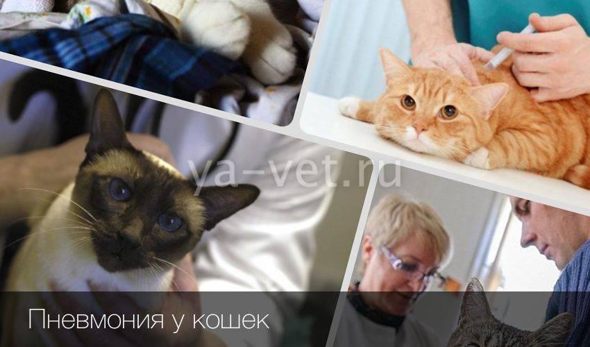 Причины возникновения, признаки и лечение пневмонии у котят