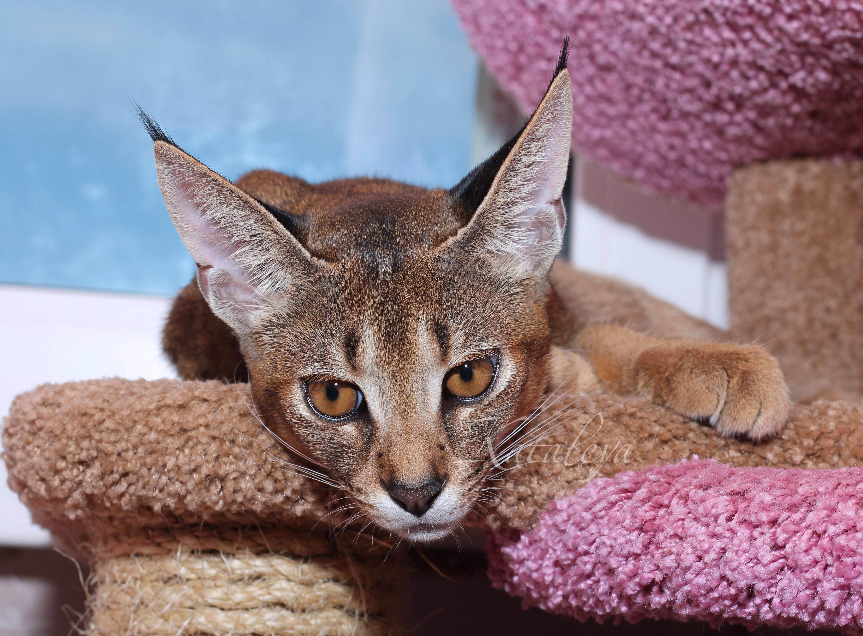 Самые дорогие кошки в мире – фото, название, сколько стоят, топ 10