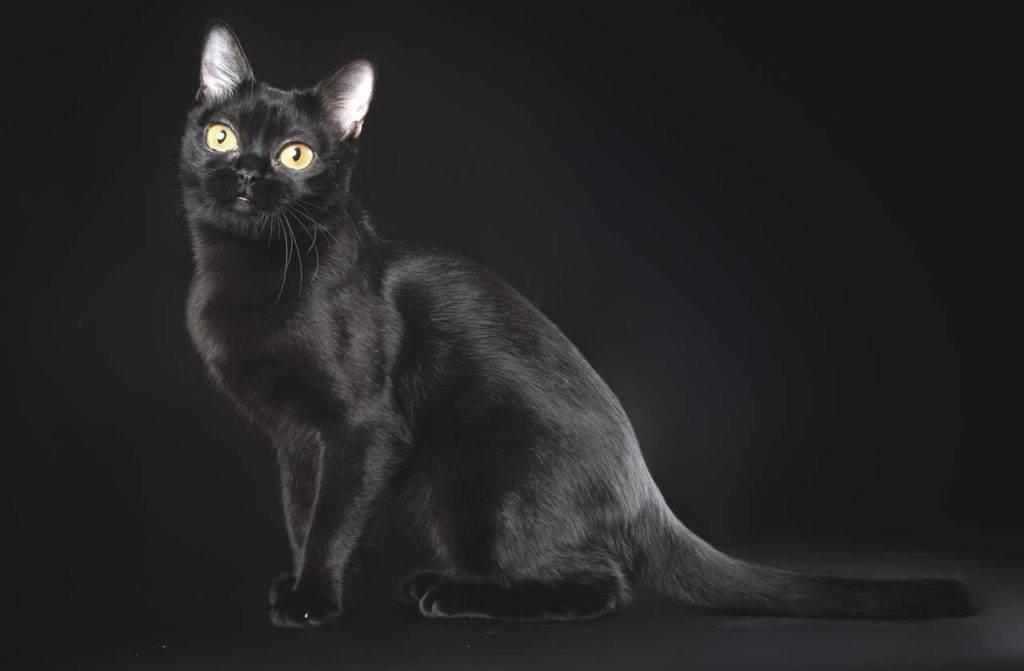 Породы черных кошек – пушистые и гладкошерстные, большие и маленькие – с фотографиями и названиями