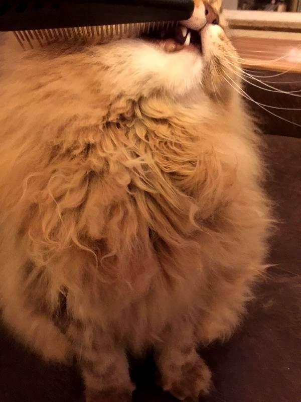 Как убрать колтуны у кота?