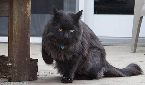 Кошка хромает на переднюю лапу: причины и лечение. шотландская кошка хромает: причины и лечение
