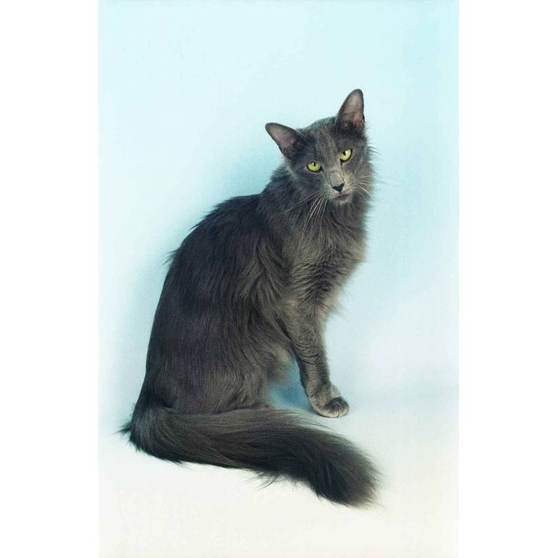 Яванская кошка или яванез