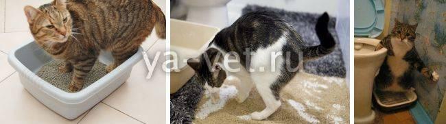 7 причин: кот не может помочиться. задержка мочеиспускания кошек