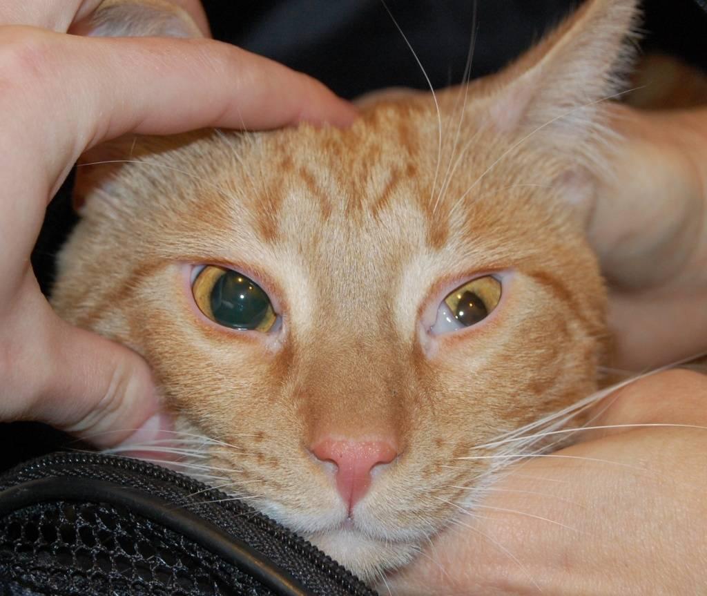 Кошка чихает и у нее слезятся глаза: возможные причины, методы терапии
