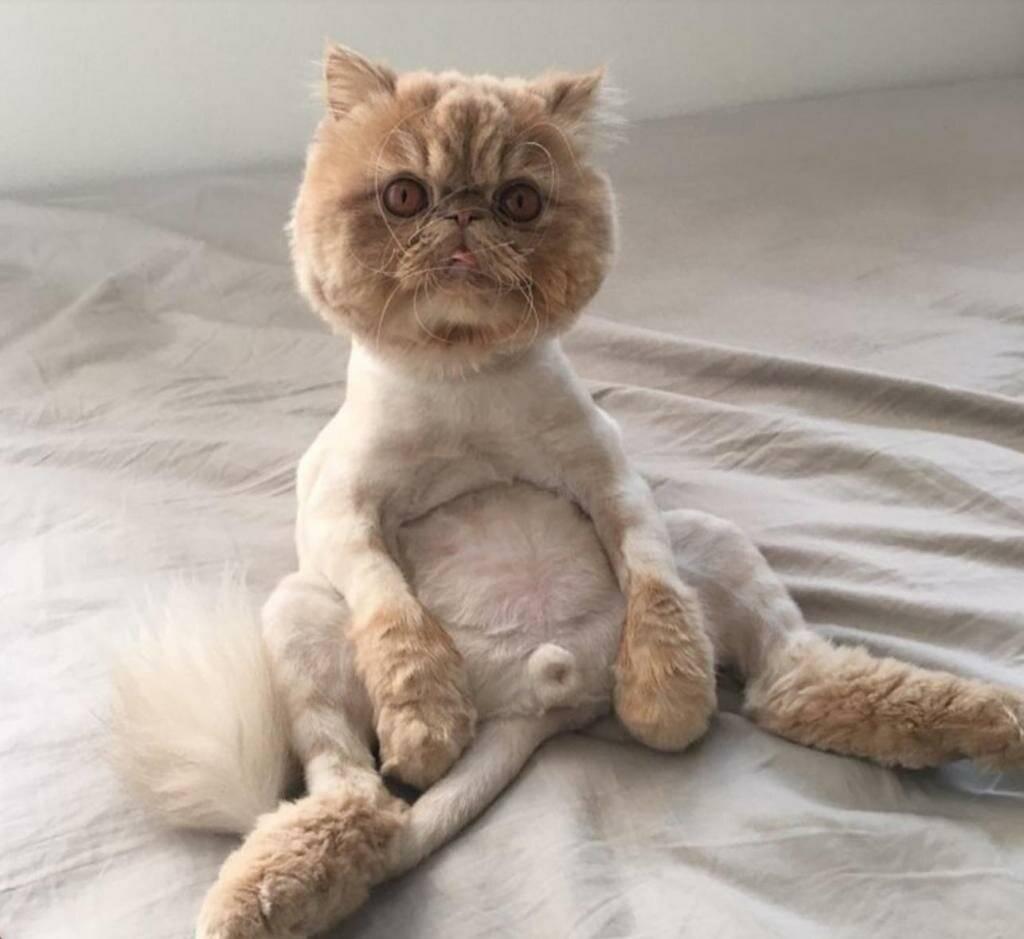 Как подстричь кота дома машинкой для человека