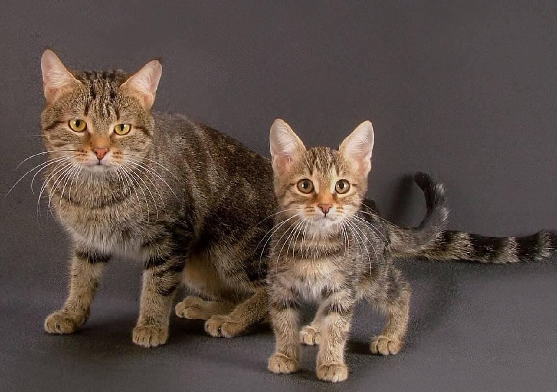 Фото и описание кошки породы оцикет: как содержать необычного кота, где можно купить котят?