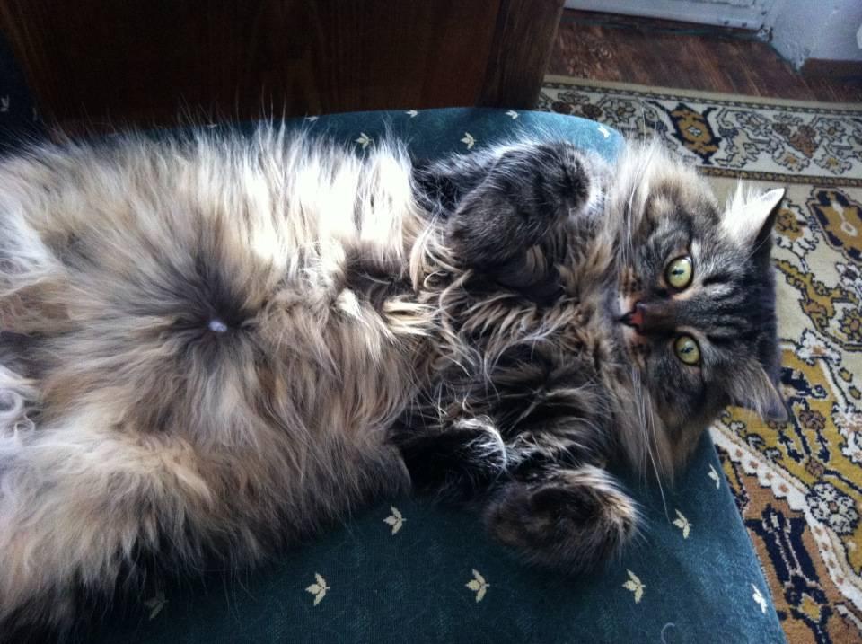 Где у кошки пупок. есть ли у кошек пупок? как найти пупок у кота - всё об аллергии