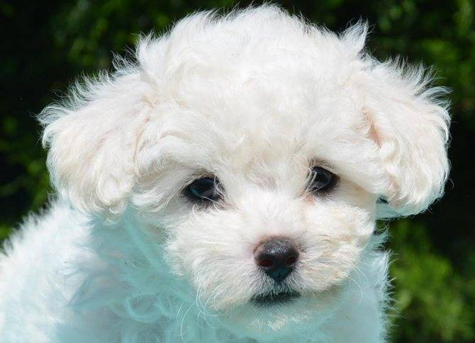 Собака болоньез: описание, стандарт породы и дрессировка