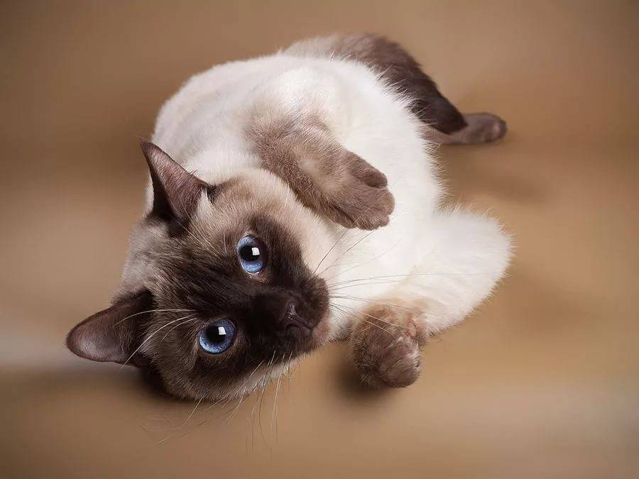 Сиамская кошка: фото котят, описание, характер, родина породы, разновидности