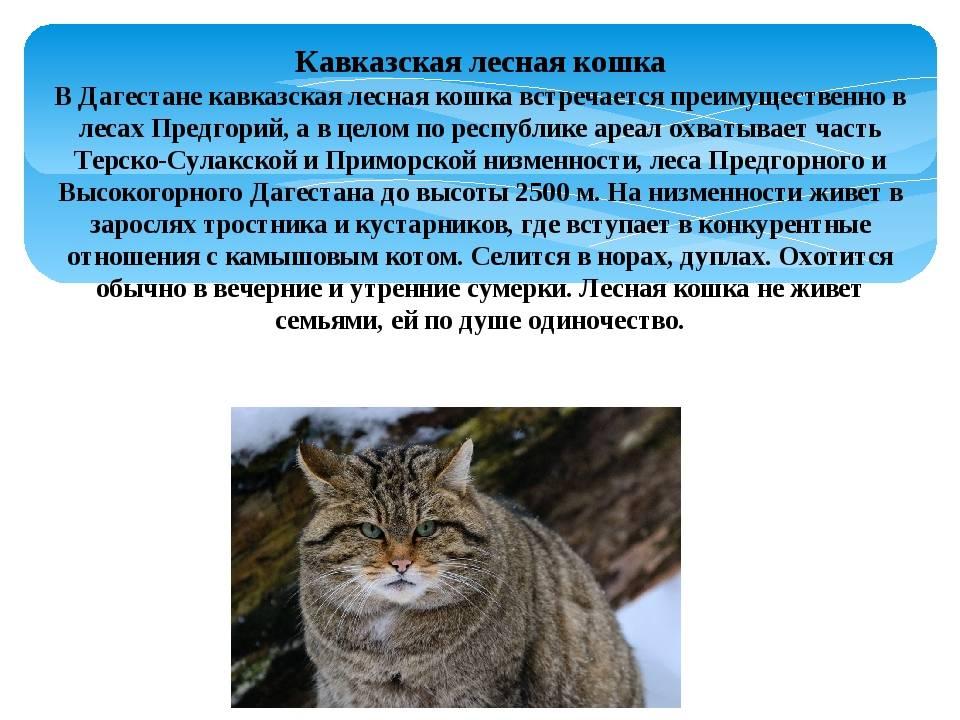 Лесной европейский кот: описание, характер, среда обитания и образ жизни, фото