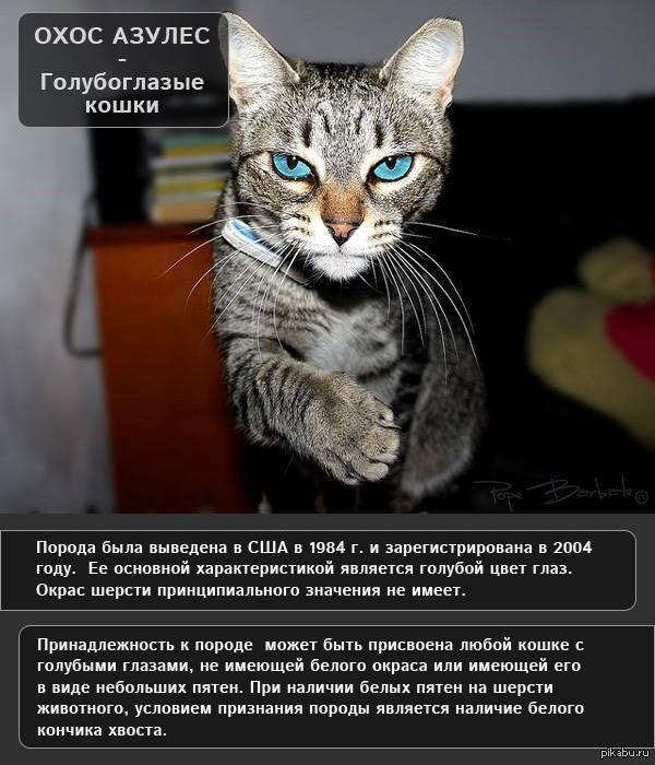 Охос азулес фото кошки, история и описание породы, характер, уход