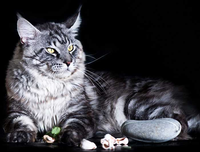 Сколько живет рэгдолл – продолжительность жизни кошки