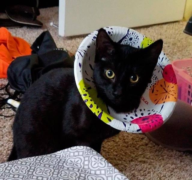Воротник для кота после кастрации: какой выбрать, как сделать своими руками