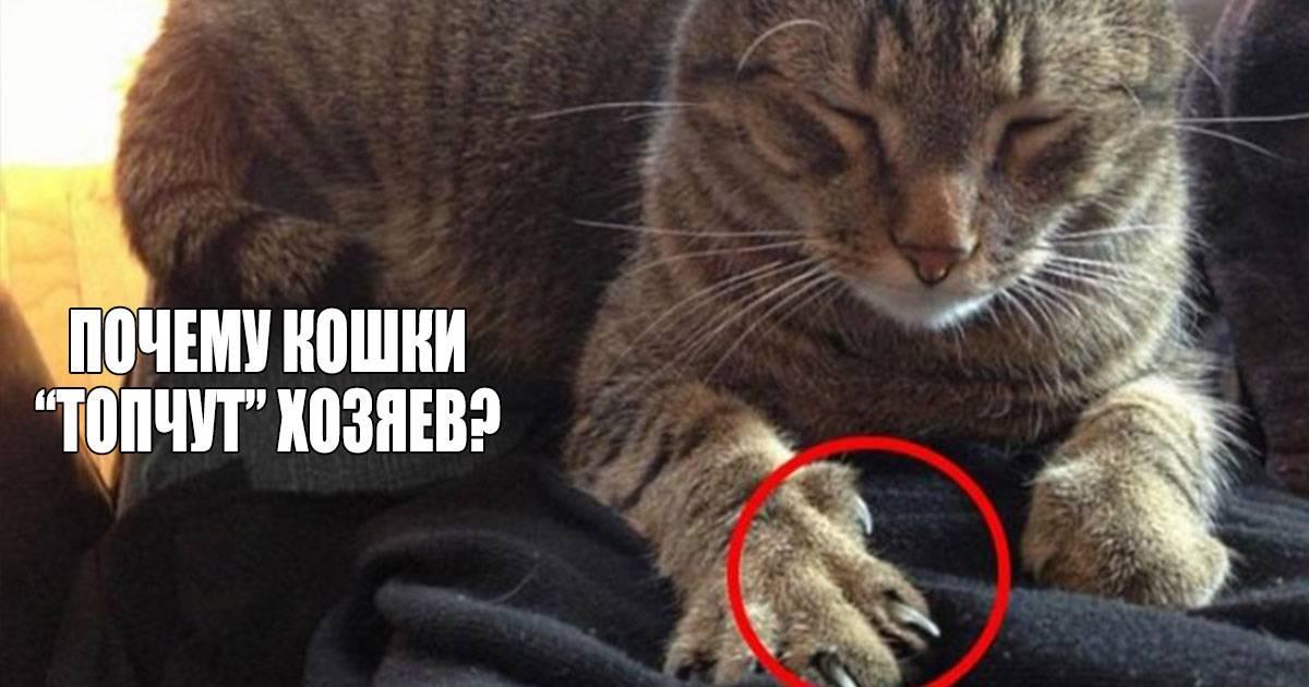 Почему коты топчут лапками хозяев? ответы эксперта