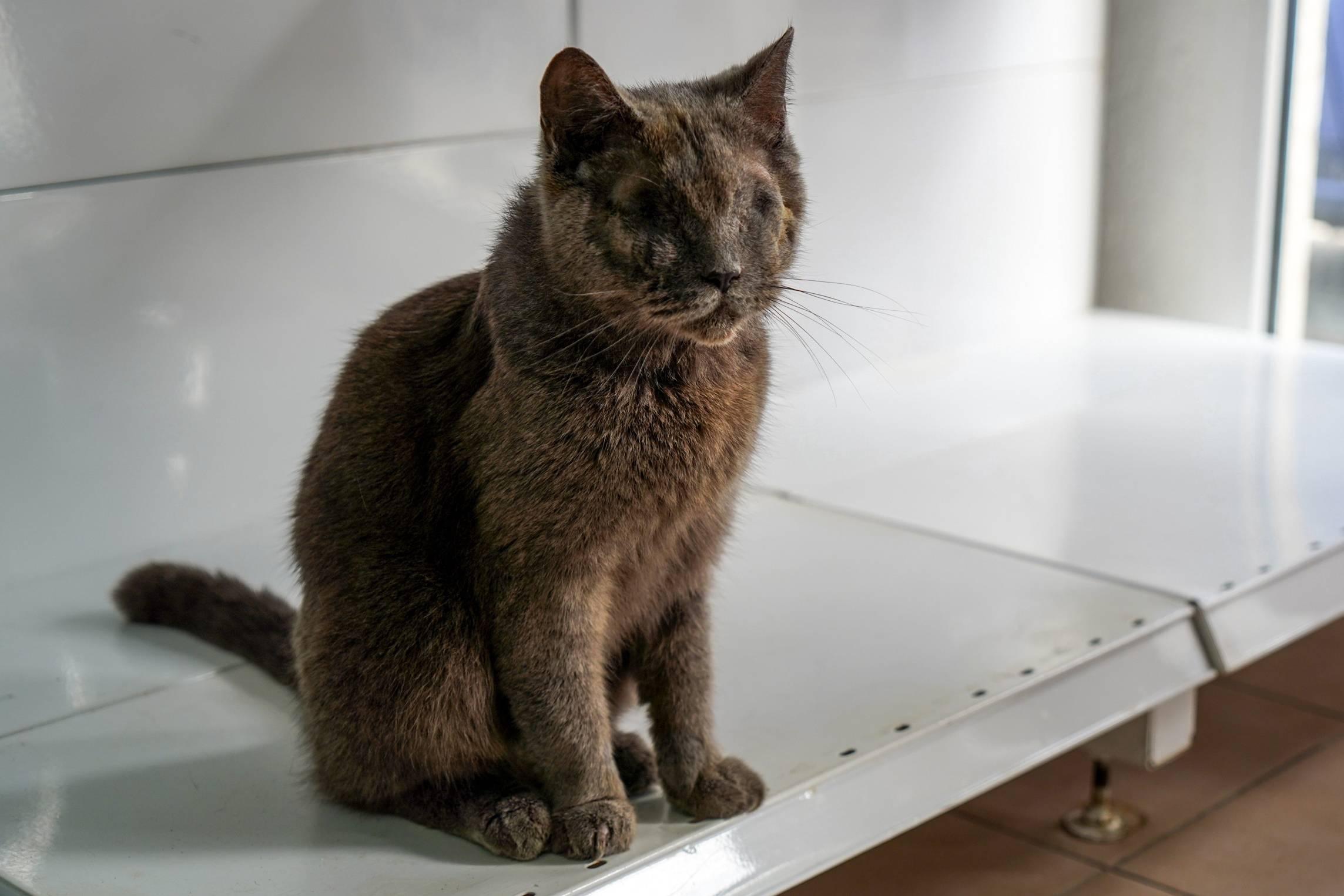 Правила ухода за британским котёночком