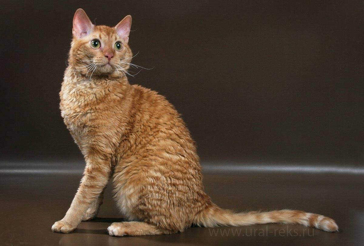 Кошки, которые не линяют: лучшие породы для аллергиков и не только