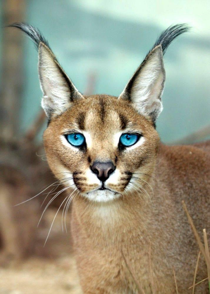 Породы кошек, похожие на рысь — загадочны, популярны, харизматичны