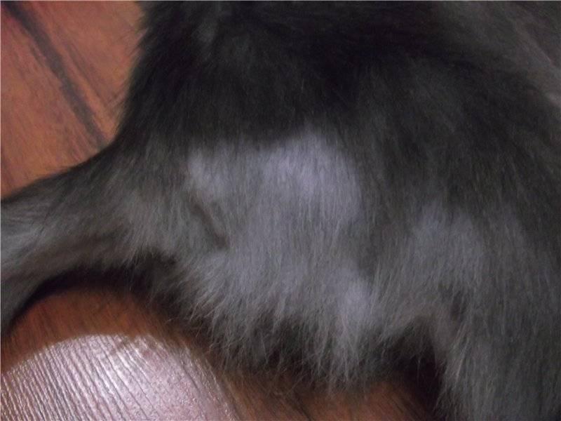 Проплешины на теле у кошек: причины и лечение