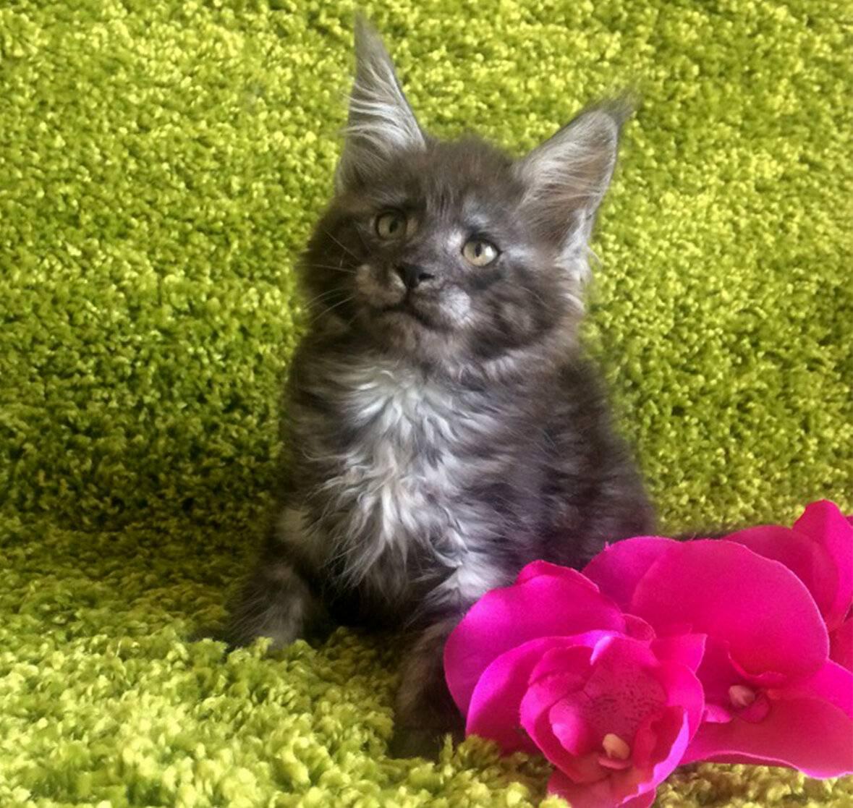 Окрас мейн-кунов (32 фото): таблица с названиями всех видов цветов, описание черно-белой и трехцветной расцветки, окрасы солид и полосатый, серебристые и коричневые коты