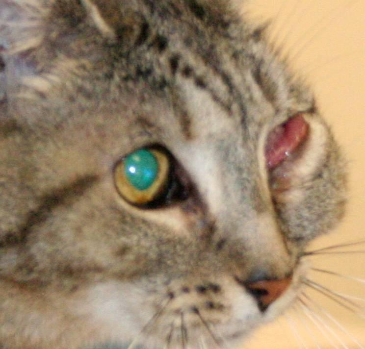 Опухоль у кота на щеке какие антибиотики