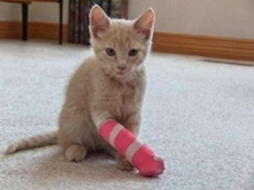 Что делают ветеринары если кошки хромают на передние лапы без травм