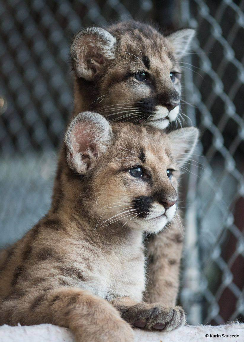 20 редких видов диких кошек, о которых многие и не слышали