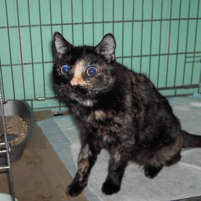 Чумка у кошек: симптомы и способы лечения патологии, причины развития заболевания