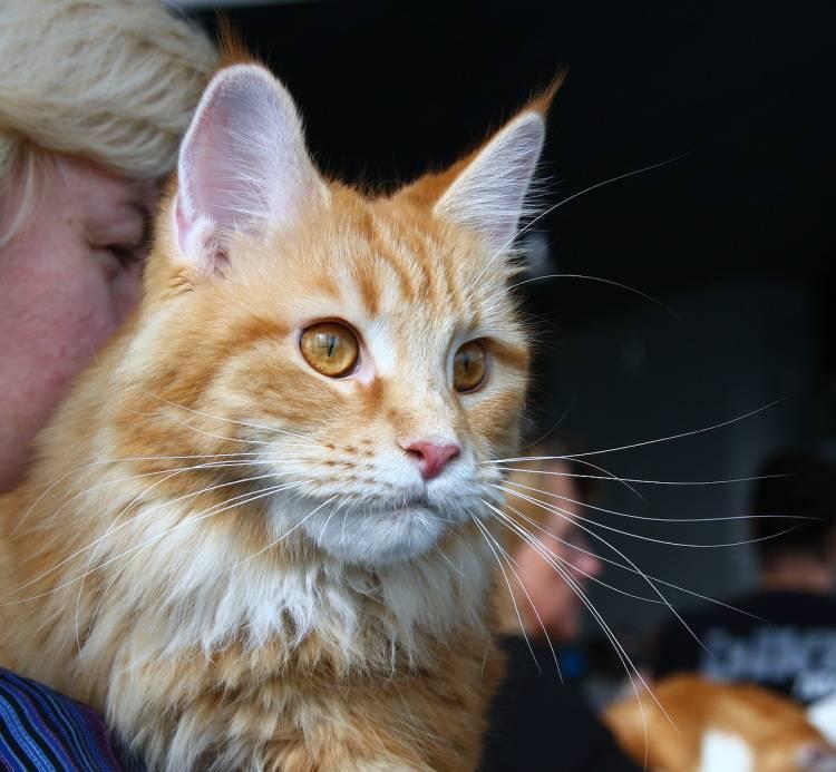 Короткошерстный и гладкошерстный мейн-кун (20 фото): описание поведения кошек и котов, уход за котятами