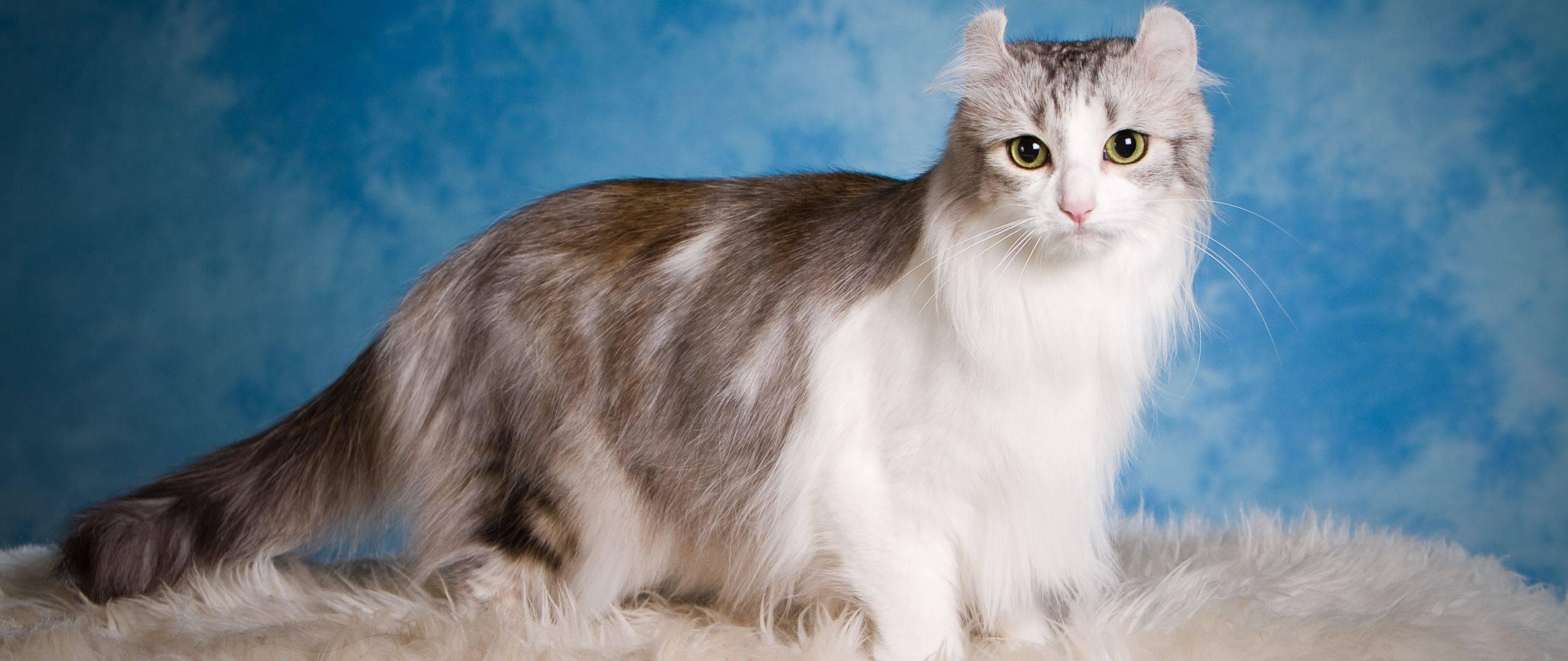 Американский керл: все о кошке, фото, описание породы, характер, цена