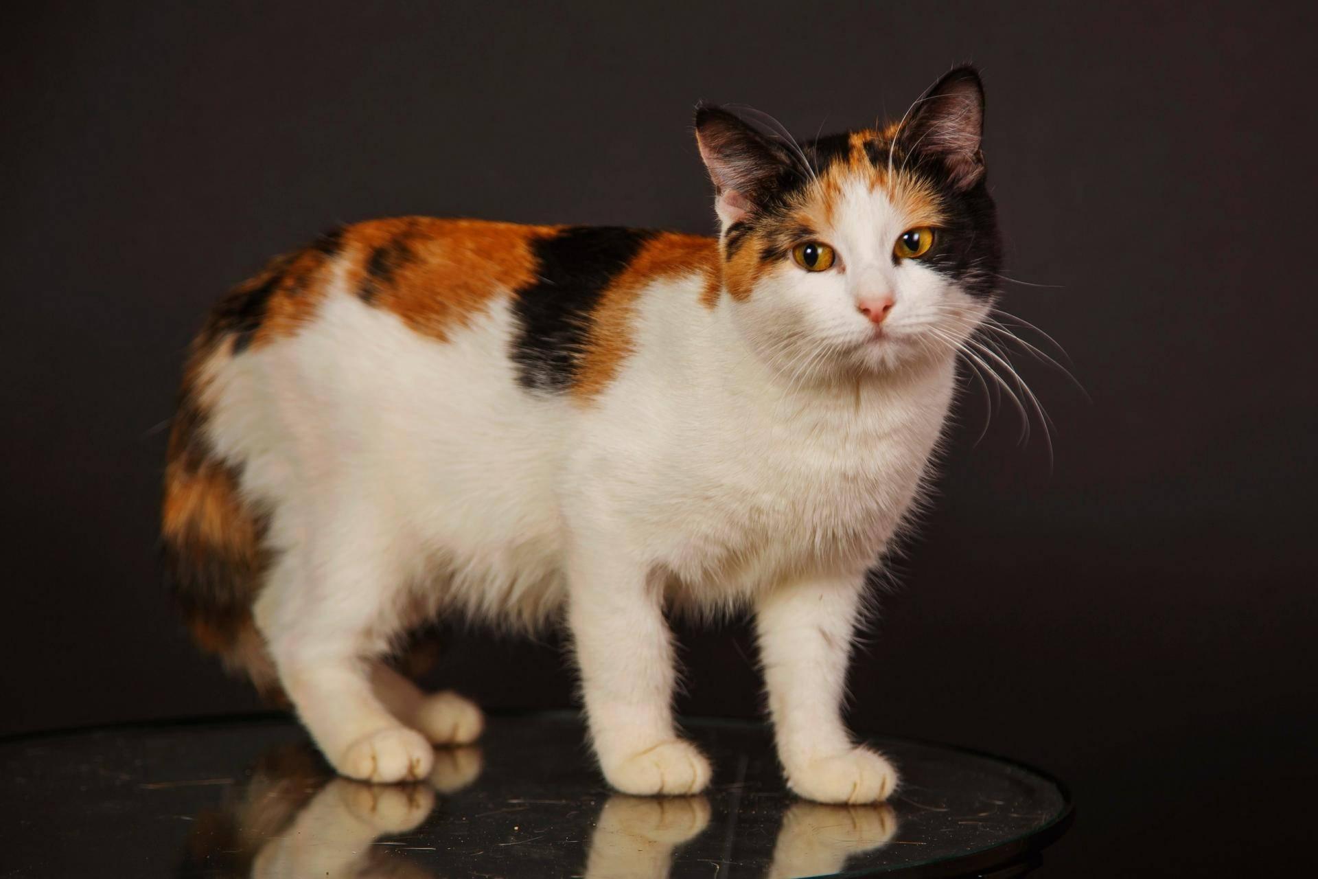 Трехцветная (черепаховая) кошка