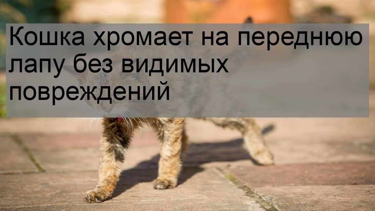 Кошка хромает на заднюю лапу: причины, как распознать перелом, ушиб, первая помощь