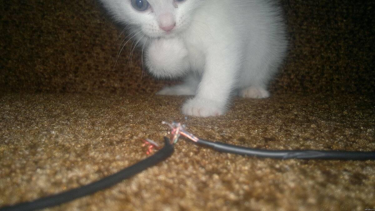 Как отучить кошку грызть провода, почему котята и взрослые коты это делают?