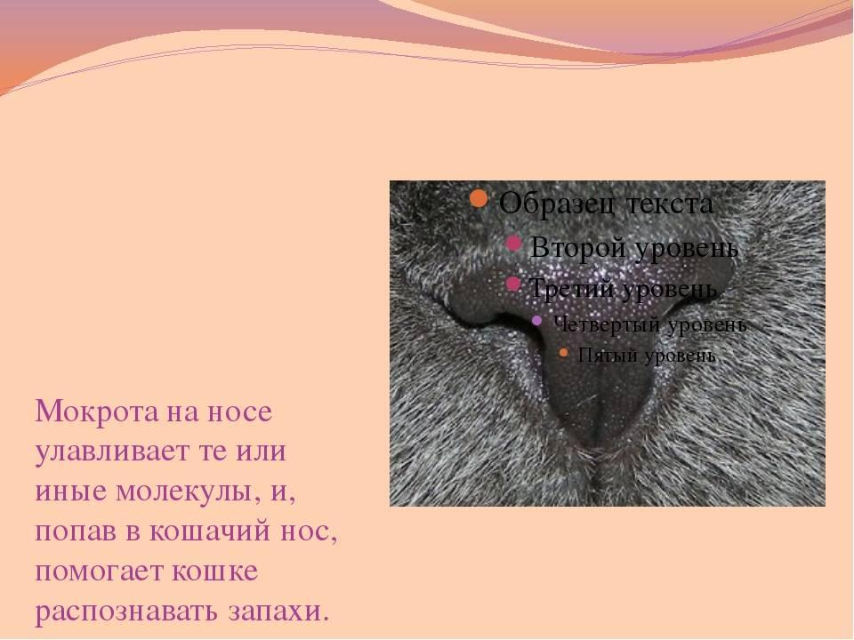 Сухой и горячий нос у кота или кошки: причины (симптомом каких болезней и состояний может являться) явления у котят и взрослых животных