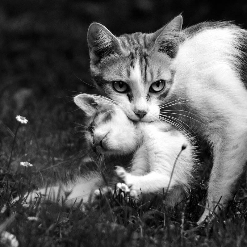Почему мамы-кошки постоянно таскают своих котят в зубах