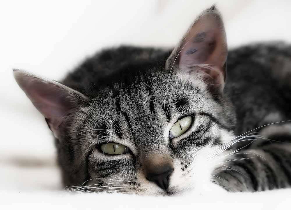 Гемобартонеллез у кошек: причины, симптомы, методы диагностики и особенности лечения