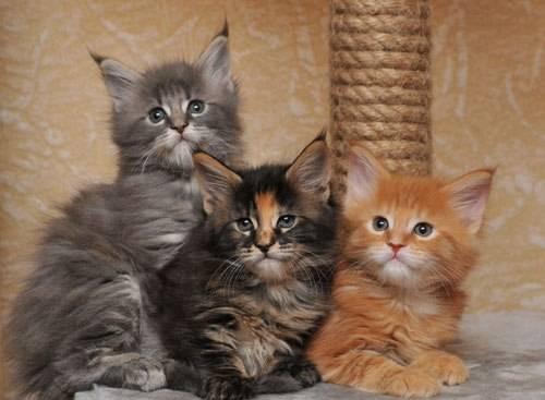 Котенок мейн-кун в 3 месяца: фото, вес и размер, кормление.