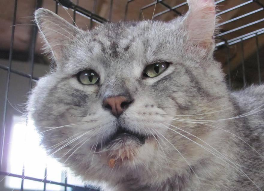 Что делать, если у кота опухла щека?