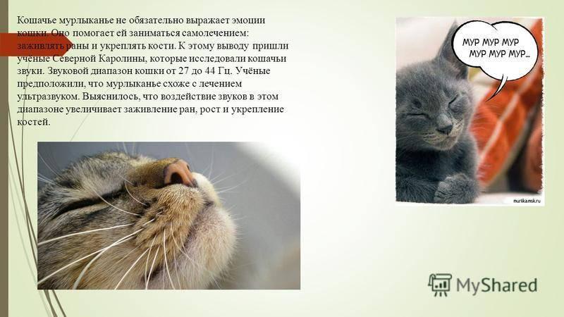 Где у котов и кошек находится урчальник? что это такое